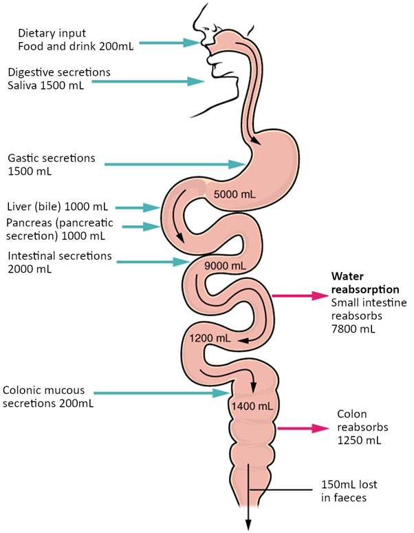Diagram of Digestive secretions and absorption of water