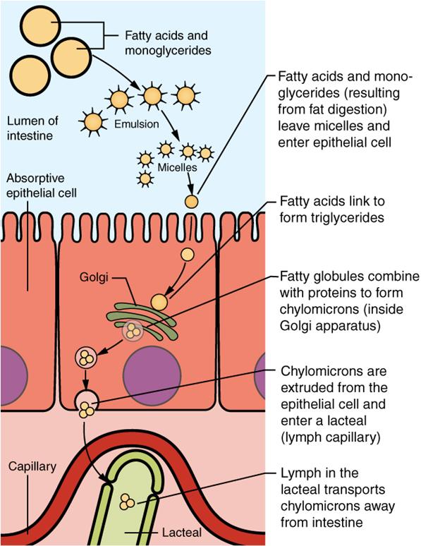 Diagram of Lipid absorption.