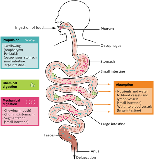 Diagram of Digestive processes. The digestive processes are ingestion, propulsion, mechanical digestion, chemical digestion, absorption and defaecation.