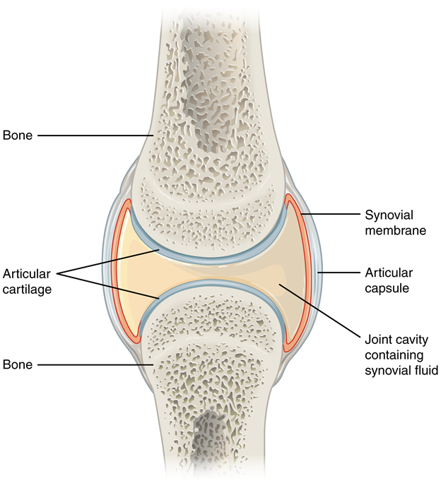 Diagram of Synovial joints.