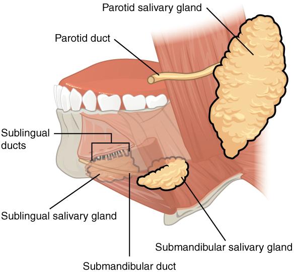 Diagram of Salivary glands.