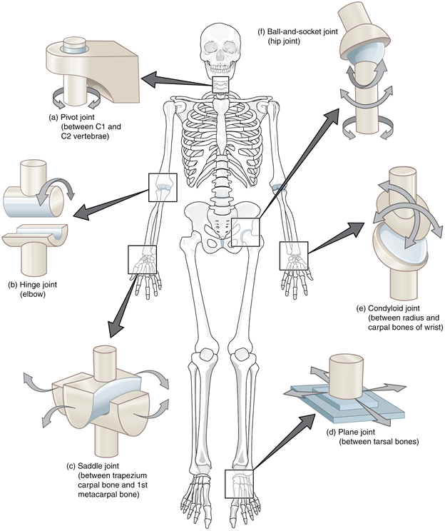 Types of synovial joints. The six types of synovial joints allow the body to move in a variety of ways. (a) Pivot joints allow for rotation around an axis, such as between the first and second cervical vertebrae, which allows for side-to-side rotation of the head. (b) The hinge joint of the elbow works like a door hinge. (c) The articulation between the trapezium carpal bone and the first metacarpal bone at the base of the thumb is a saddle joint. (d) Plane joints, such as those between the tarsal bones of the foot, allow for limited gliding movements between bones. (e) The radiocarpal joint of the wrist is a condyloid joint. (f) The hip and shoulder joints are the only ball-and-socket joints of the body.