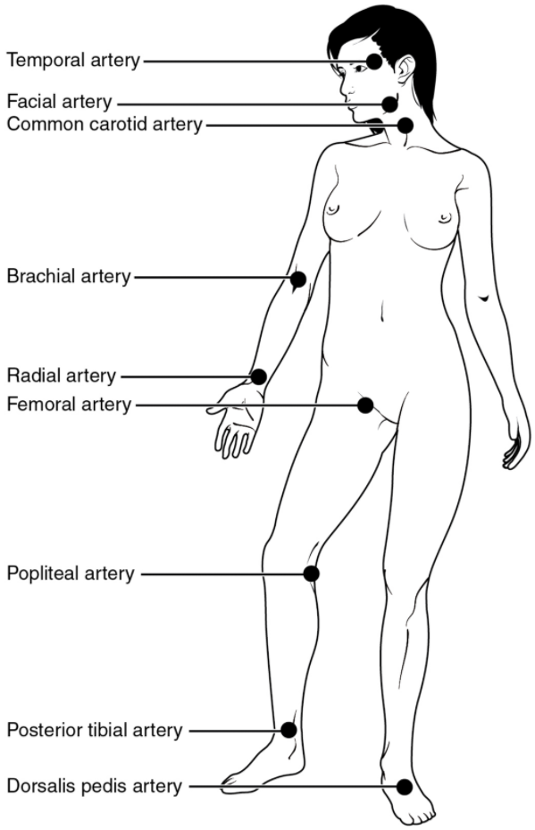 Pulse sites on the body