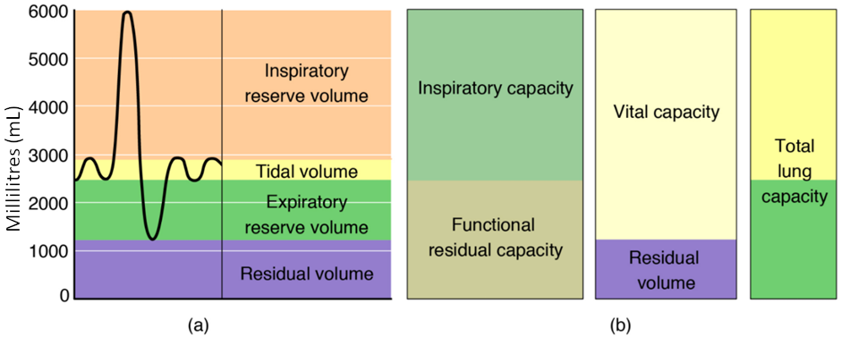 These two graphs show (a) respiratory volumes and (b) the combination of volumes that results in respiratory capacity.