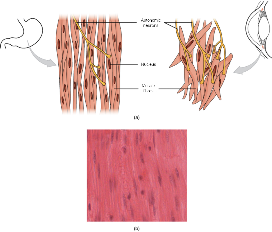 Diagram and image of smooth muscle tissue