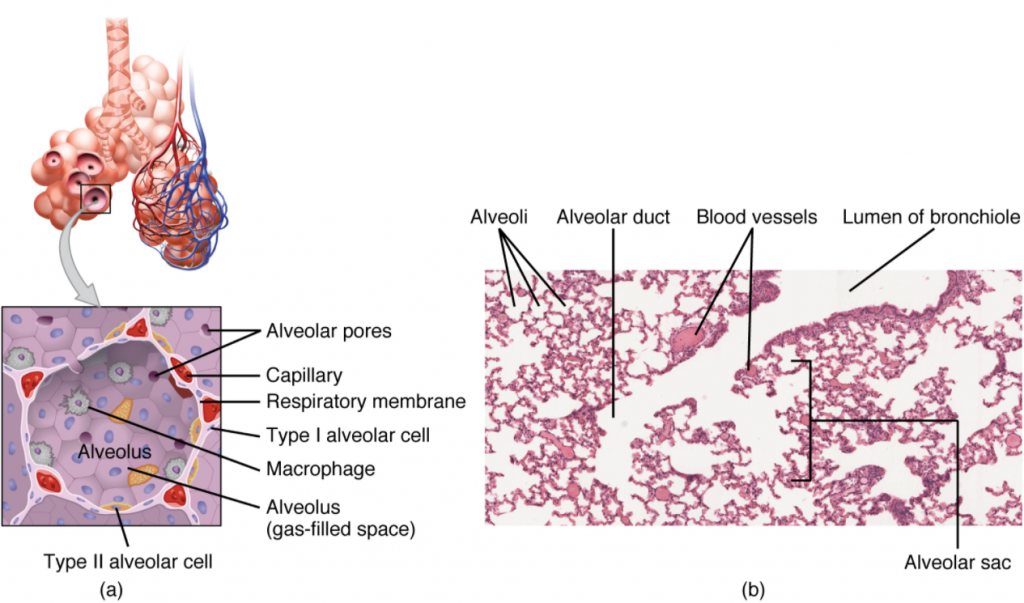Structures of the respiratory zone. (a) The alveolus is responsible for gas exchange. (b) A micrograph shows the alveolar structures within lung tissue