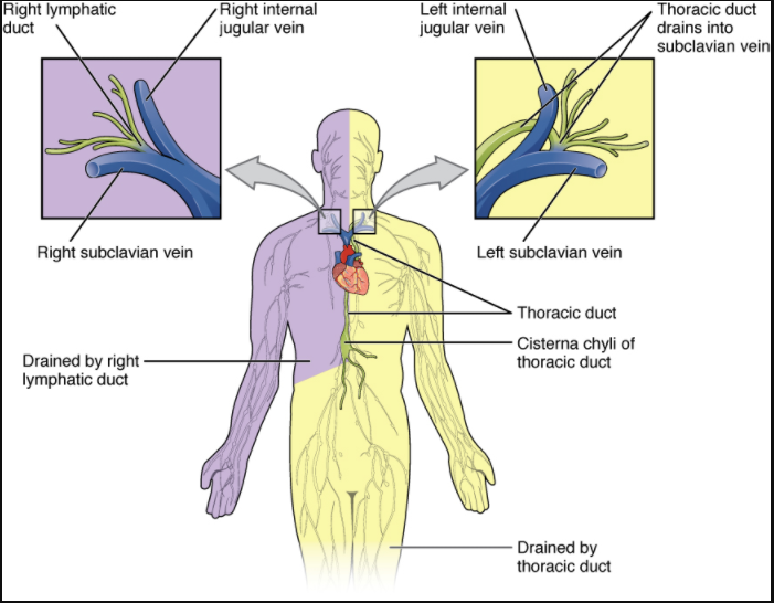 Major trunks and ducts of the lymphatic system.