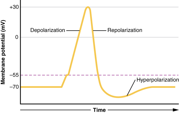 Graph of action potential