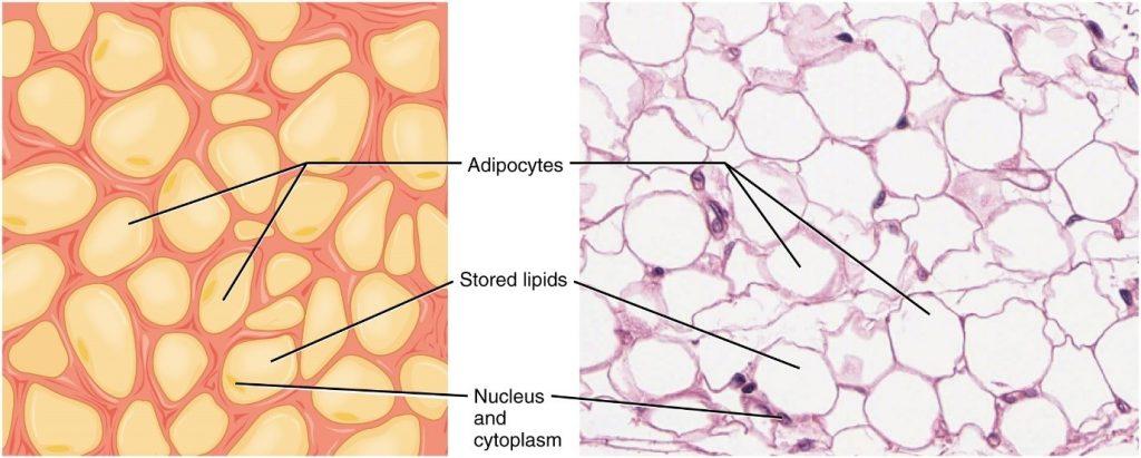 Diagram of adipose tissue