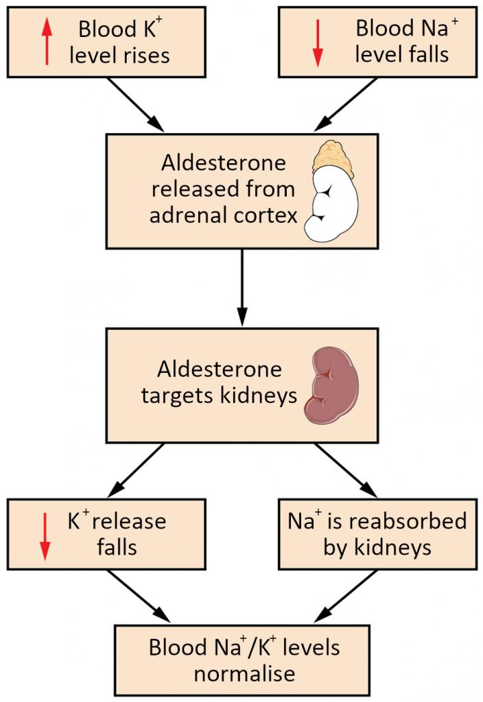 The aldosterone feedback loop