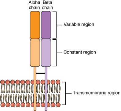 Alpha-beta T cell receptor diagram