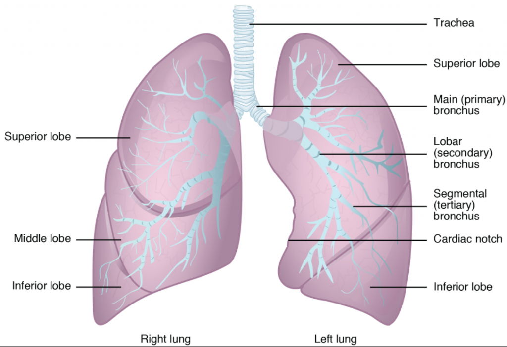 anatomy of the lungs.