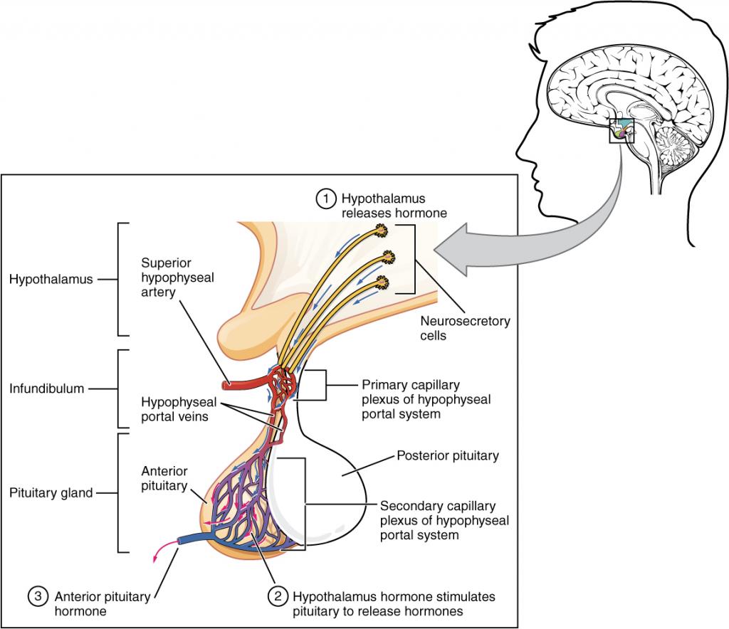 Anterior pituitary diagram