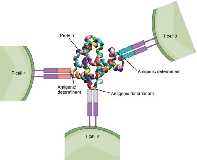 Daigram of Antigenic determinants.