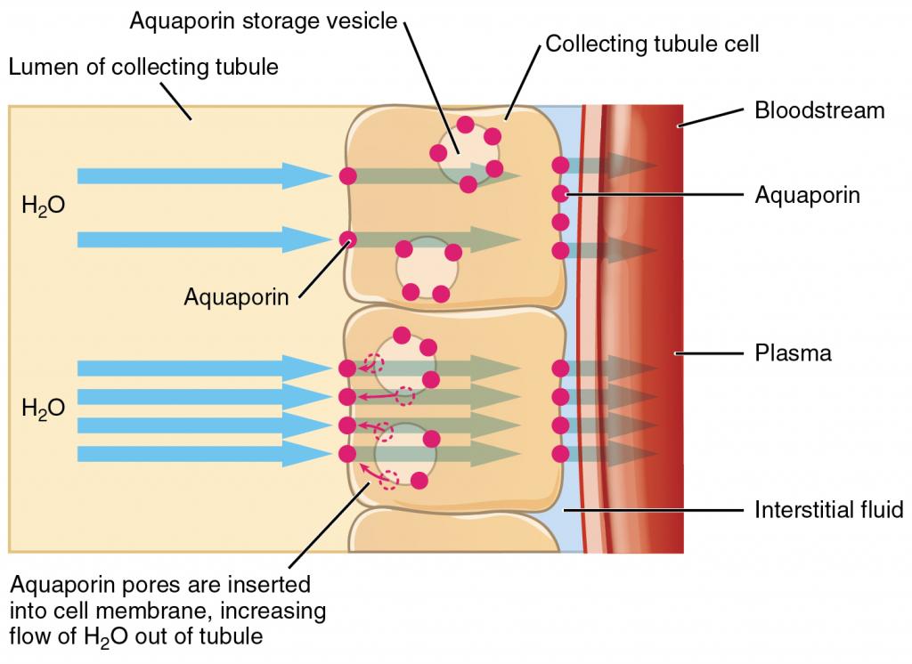 Diagram of Aquaporins