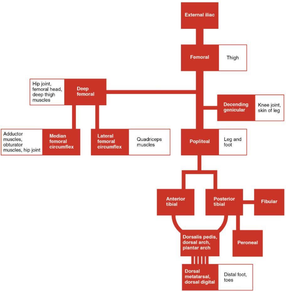 The flow chart summarises the distribution of the systemic arteries from the external iliac artery into the lower limb.