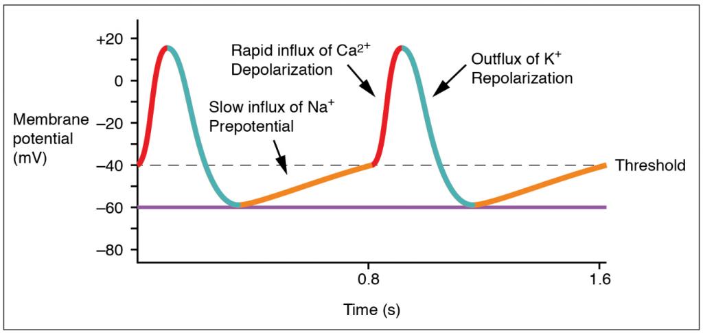 Graph of action potential at the SA mode