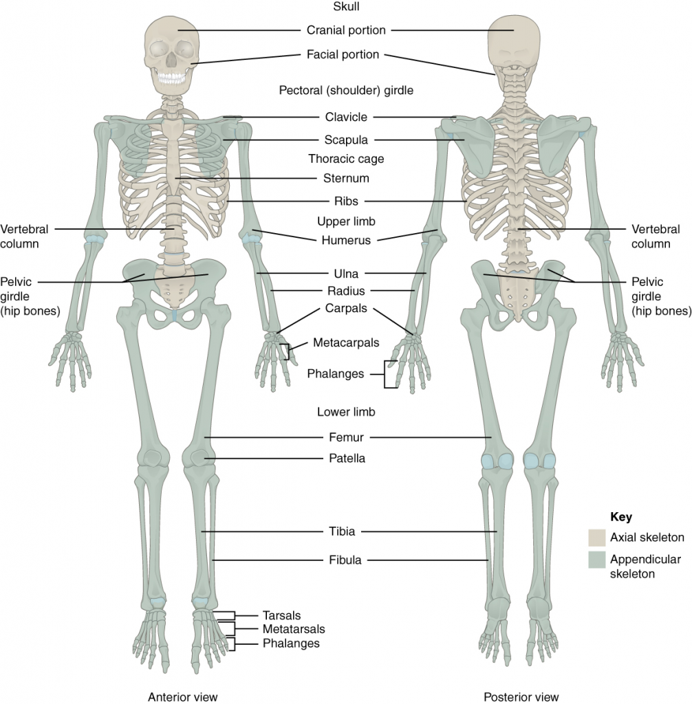 Axial and appendicular skeletons