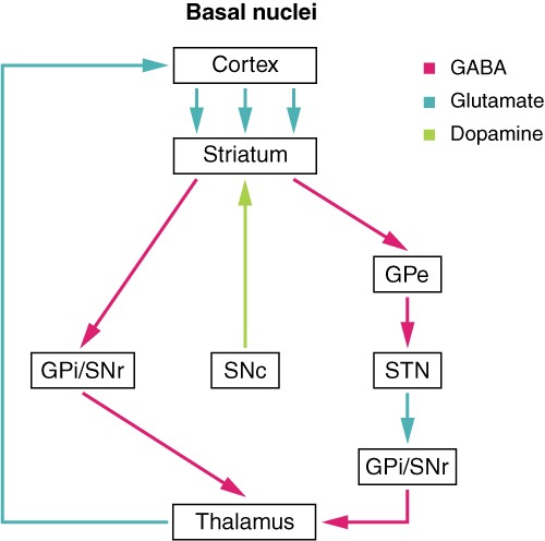 Connections of basal nuclei.