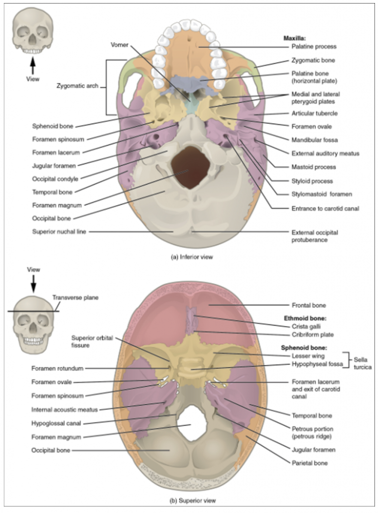 External and internal views of base of skull. (a) The hard palate is formed anteriorly by the palatine processes of the maxilla bones and posteriorly by the horizontal plate of the palatine bones. (b) The complex floor of the cranial cavity is formed by the frontal, ethmoid, sphenoid, temporal, and occipital bones. The lesser wing of the sphenoid bone separates the anterior and middle cranial fossae. The petrous ridge (petrous portion of temporal bone) separates the middle and posterior cranial fossae.