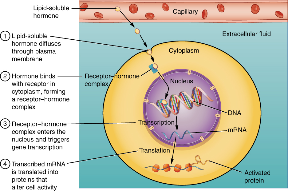 Binding of lipid-soluble hormones diagran