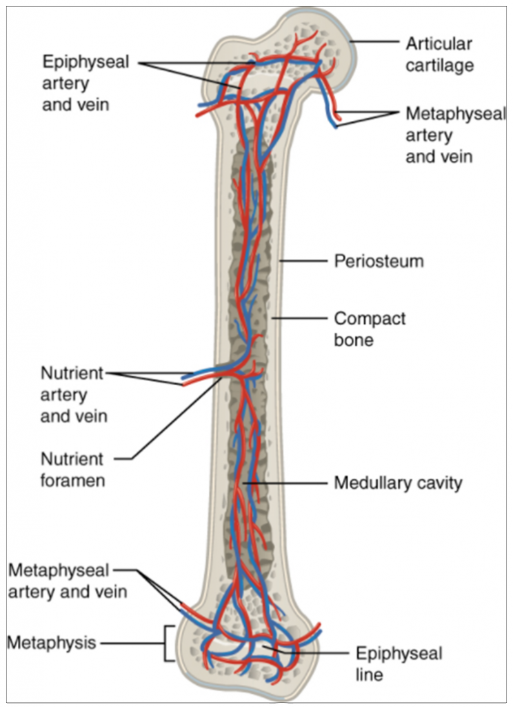 Diagram of blood and nerve supply to bone.