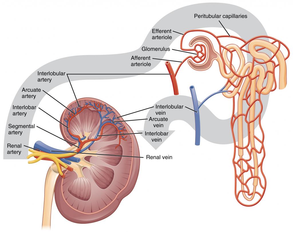 Figure 17.3.3. Blood Flow in the Kidney.