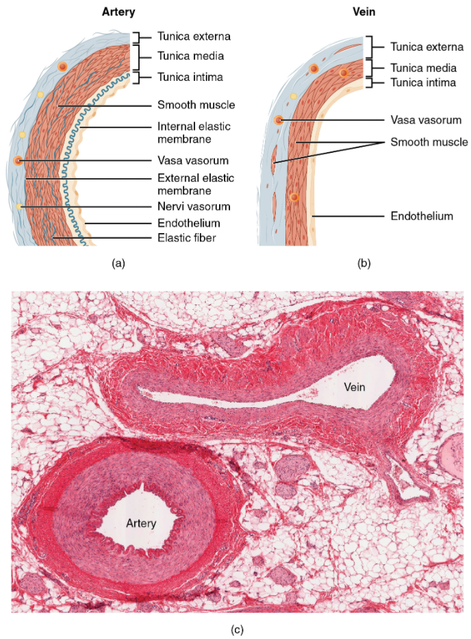 Structure of blood vessels. (a) Arteries and (b) veins share the same general features, but the walls of arteries are much thicker because of the higher pressure of the blood that flows through them. (c) A micrograph shows the relative differences in thickness.