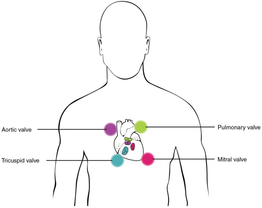 Image of human body highlightung heart valves