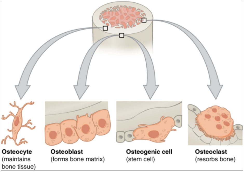 Diagram of bone cells - osteocyte, osteoblast, osteogenic cell and osteoclast
