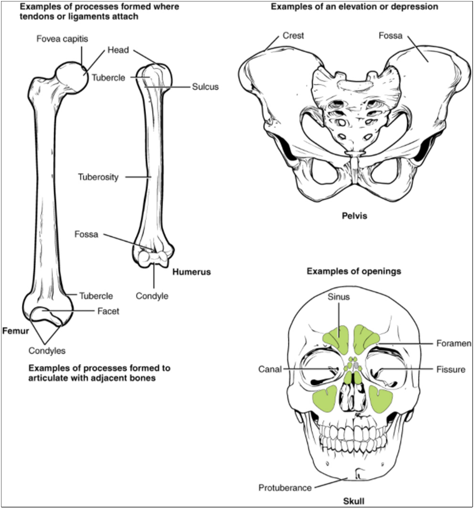 Diagram of features of a bone