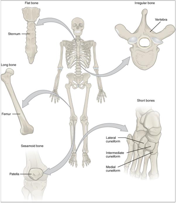 Diagram of bones in the body