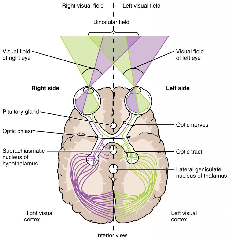 Segregation of visual field information at the optic chiasm.