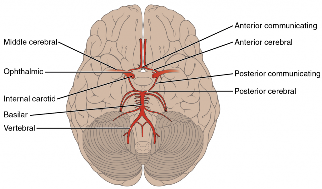 Arteries serving the brain. This inferior view shows the network of arteries serving the brain.