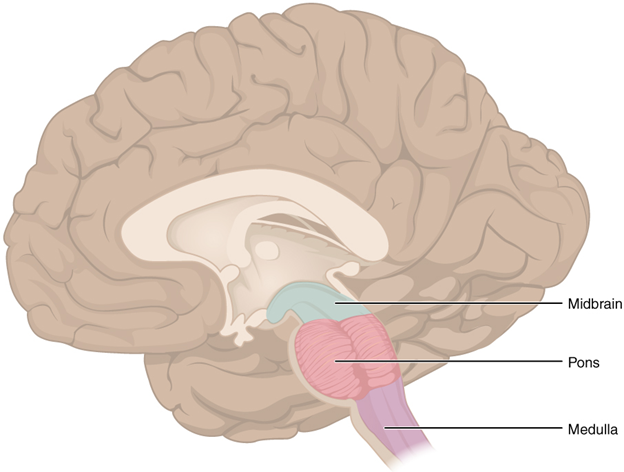 Diagram of brain stem
