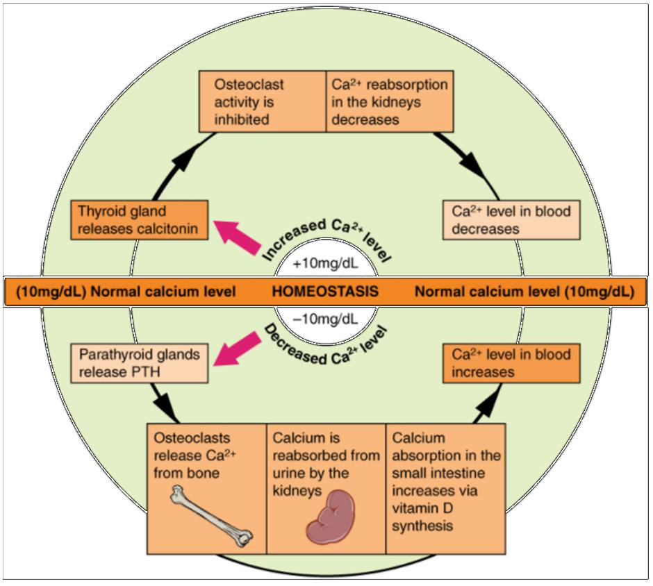 Diagram on pathways in calcium homeostasis