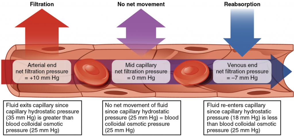 diagram of Capillary exchange. Net filtration occurs near the arterial end of the capillary since capillary hydrostatic pressure (CHP) is greater than blood colloidal osmotic pressure (BCOP). There is no net movement of fluid near the midpoint since CHP = BCOP. Net reabsorption occurs near the venous end since BCOP is greater than CHP.