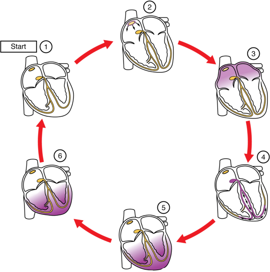 Figure 6.2.3. Cardiac conduction. (1) The sinoatrial (SA) node and the remainder of the conduction system are at rest. (2) The SA node initiates the action potential, which sweeps across the atria. (3) After reaching the atrioventricular node, there is a delay of approximately 100 ms that allows the atria to complete pumping blood before the impulse is transmitted to the atrioventricular bundle. (4) Following the delay, the impulse travels through the atrioventricular bundle and bundle branches to the Purkinje fibres, and reaches the right papillary muscle via the moderator band. (5) The impulse spreads to the contractile fibres of the ventricle. (6) Ventricular contraction begins.