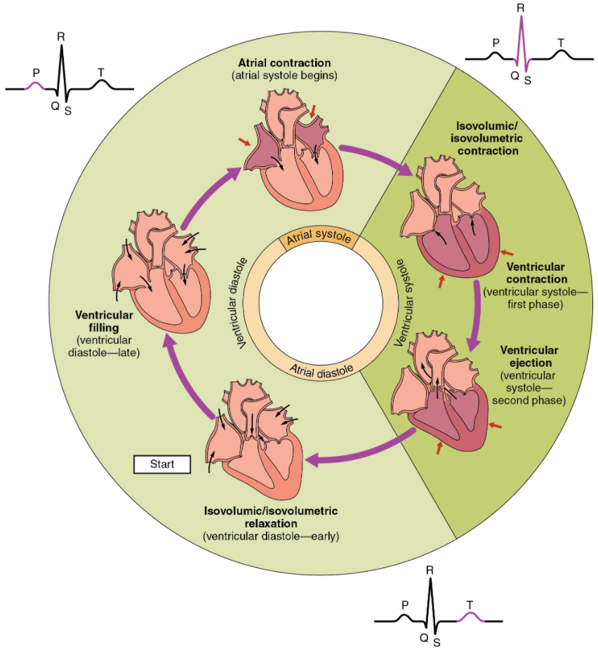 Overview of the cardiac cycle. The cardiac cycle begins with atrial systole and progresses to ventricular systole, atrial diastole, and ventricular diastole, when the cycle begins again. Correlations to the ECG are highlighted.