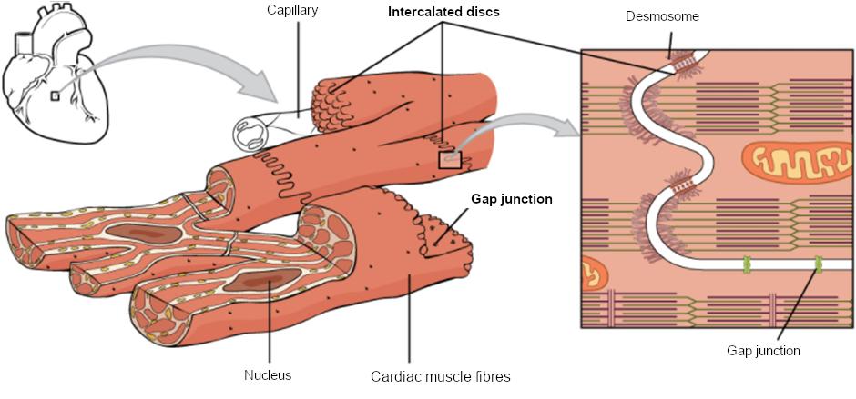 Diagram of cardiac muscle