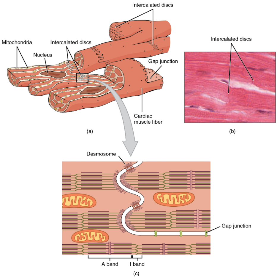 (a) Cardiac muscle cells have myofibrils composed of myofilaments arranged in sarcomeres, T tubules to transmit the impulse from the sarcolemma to the interior of the cell, numerous mitochondria for energy, and intercalated discs that are found at the junction of different cardiac muscle cells. (b) A photomicrograph of cardiac muscle cells shows the nuclei and intercalated discs. (c) An intercalated disc connects cardiac muscle cells and consists of desmosomes and gap junctions.