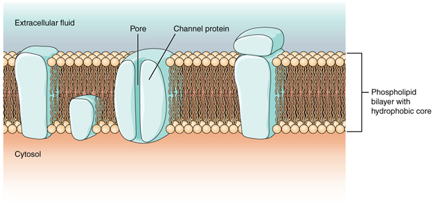 Cell membrane and transmembrane proteins.