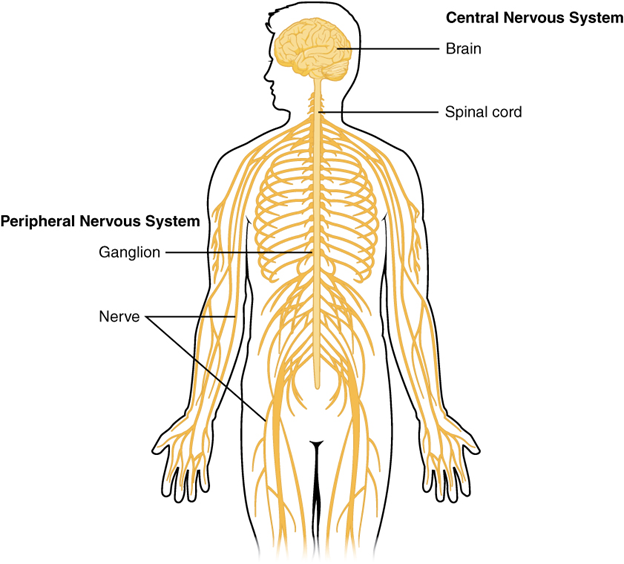 Central and peripheral nervous system.