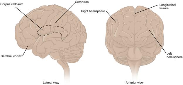 The cerebrum.