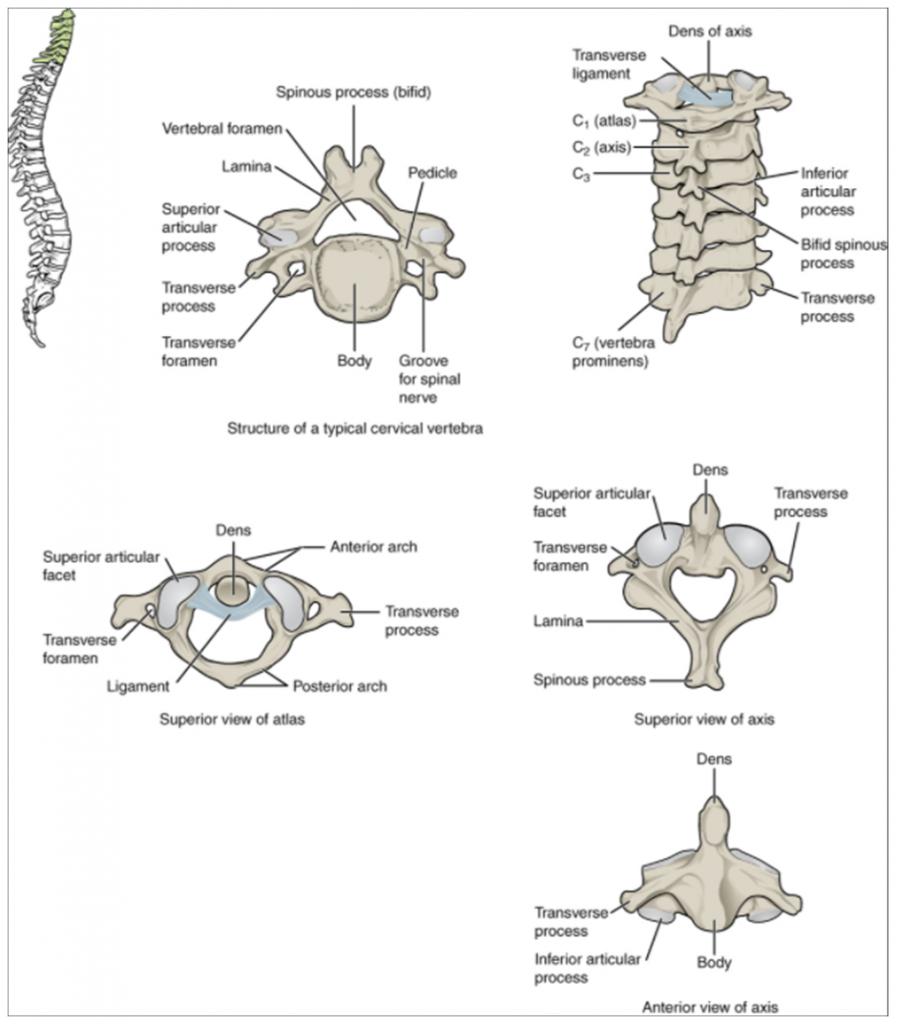 Diagram of Cervical vertebrae