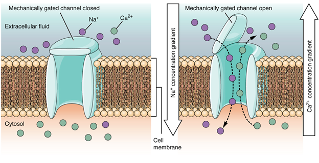Mechanically gated channels.