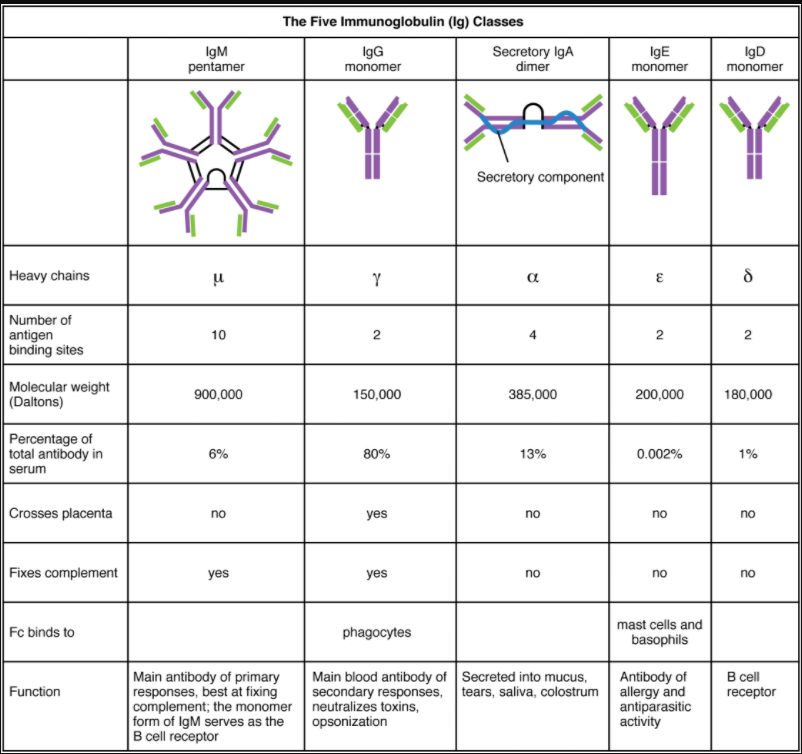 table on five classes of antibodies