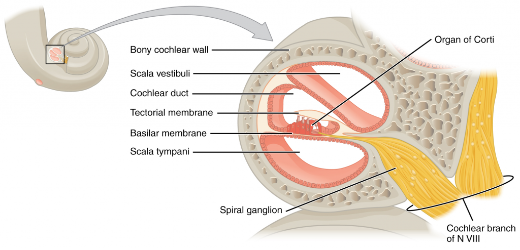 Cross section of the cochlea