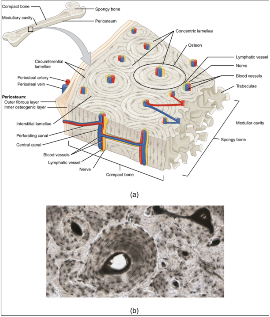 Diagram of compact bone. (a) This cross-sectional view of compact bone shows the basic structural unit, the osteon. (b) In this micrograph of the osteon, you can clearly see the concentric lamellae and central canals.