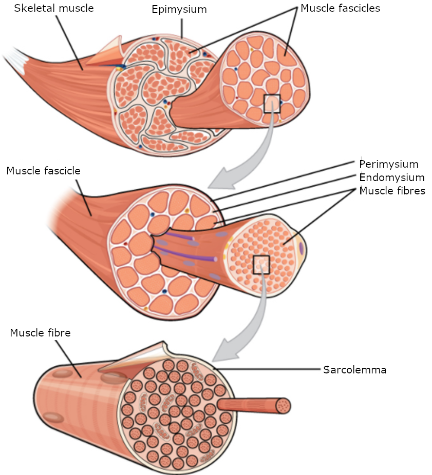 The Three connective tissue layers. Bundles of muscle fibres, called fascicles, are covered by the perimysium. Muscle fibres are covered by the endomysium.